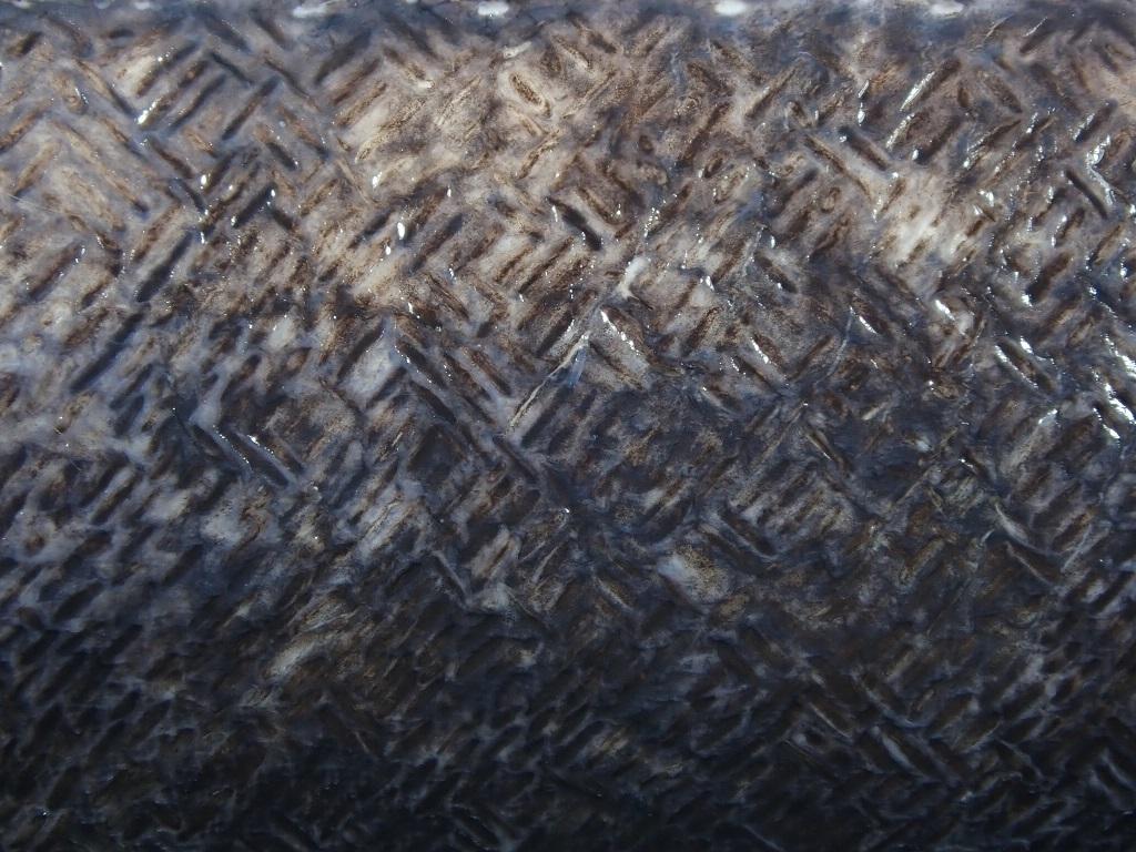 コンゴウアナゴ 鱗