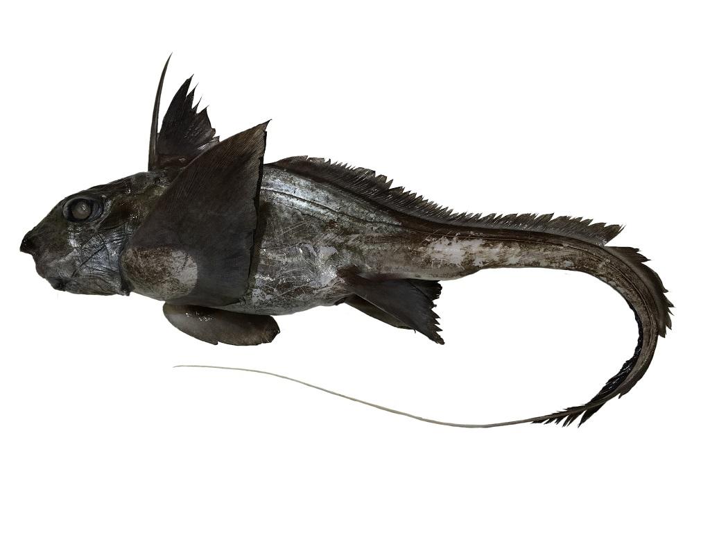 アカギンザメ